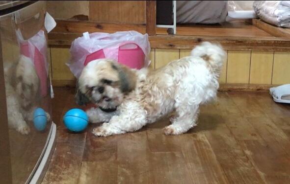 動くボールを追いかける犬